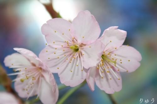 桜が咲いたよ♪01