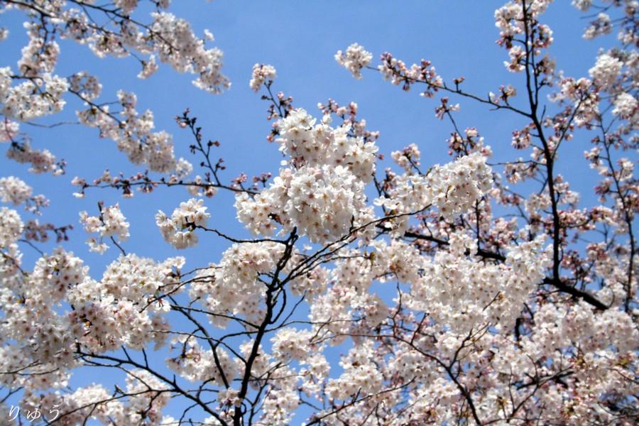 上野公園の桜01