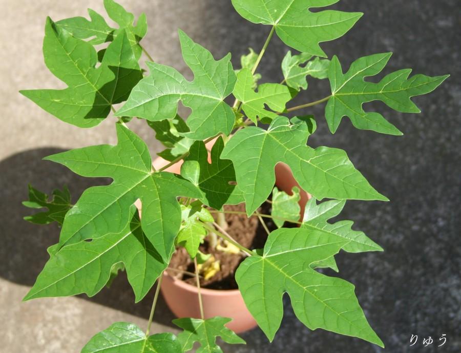 パパイヤの鉢植え