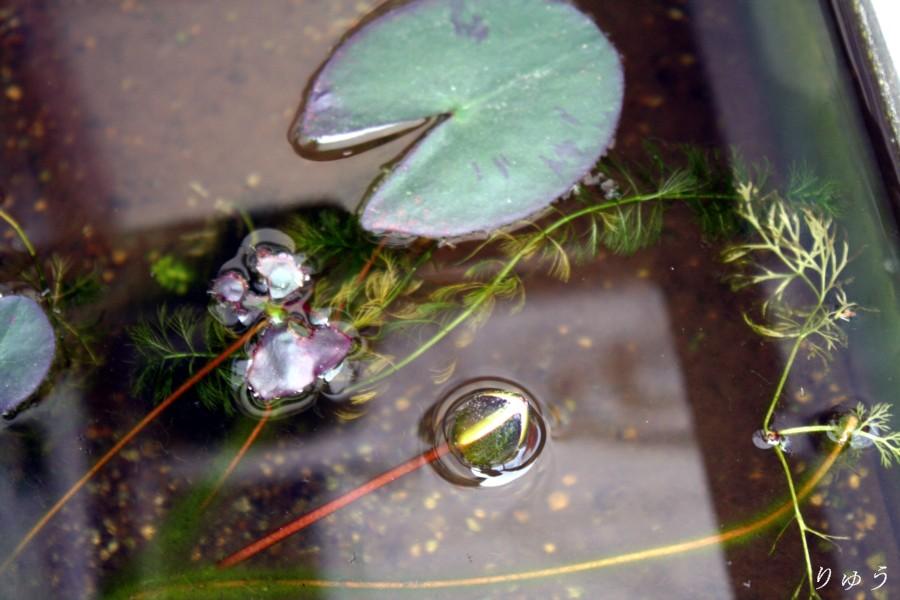 ミニ睡蓮の花01