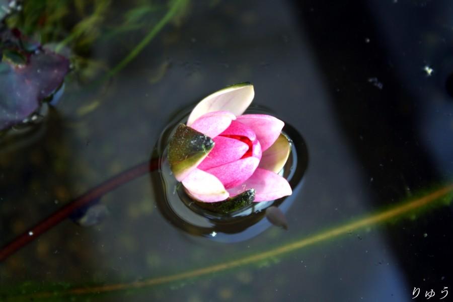 ミニ睡蓮の花04