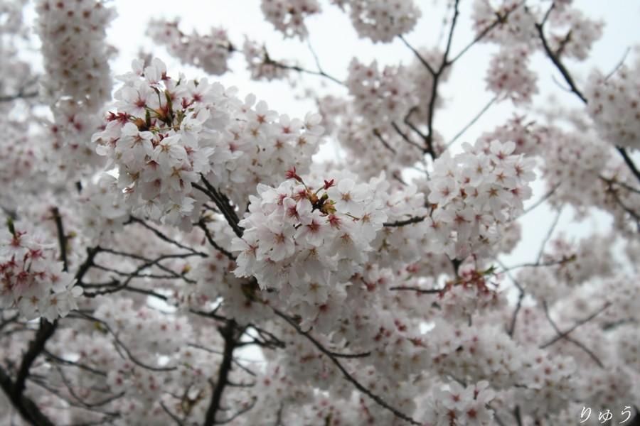 上野公園の桜03