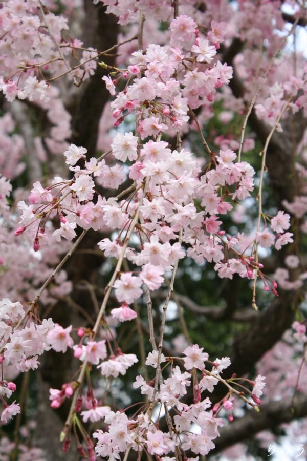 上野公園の桜04
