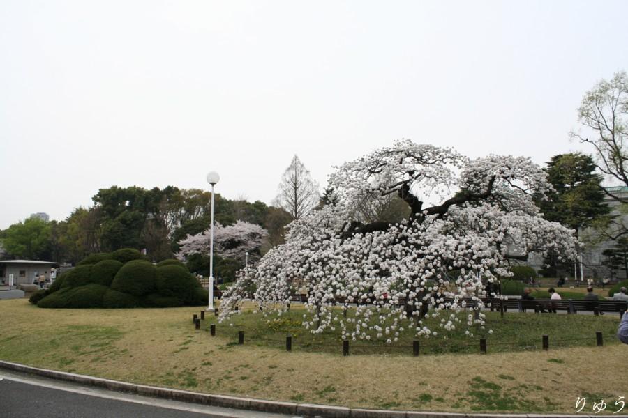 東京国立博物館のさくら01
