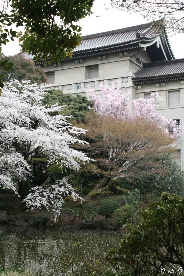 東京国立博物館のさくら03