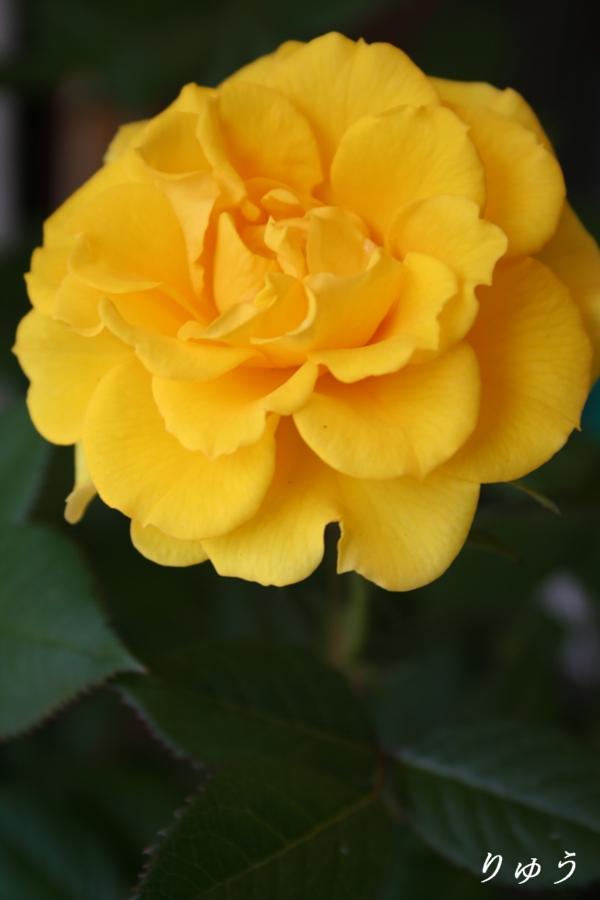 ミニバラ・黄