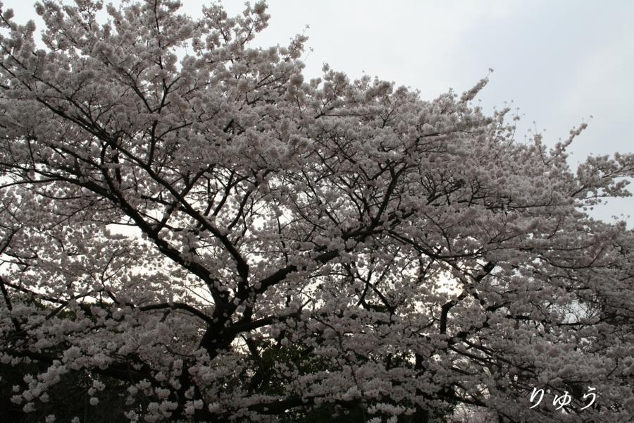 上野動物園入り口付近の桜