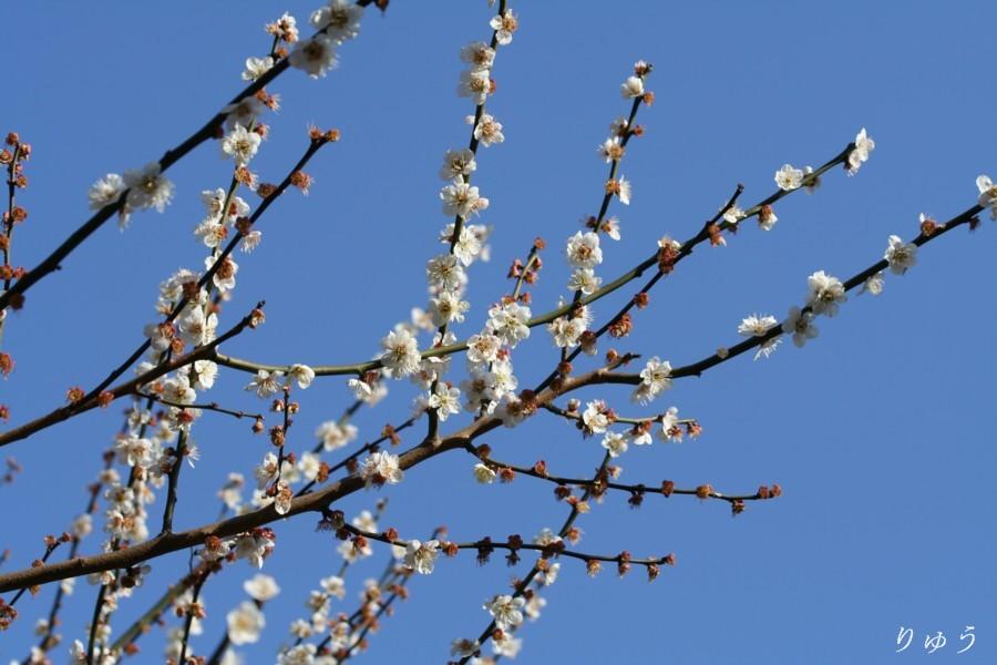 梅の花01