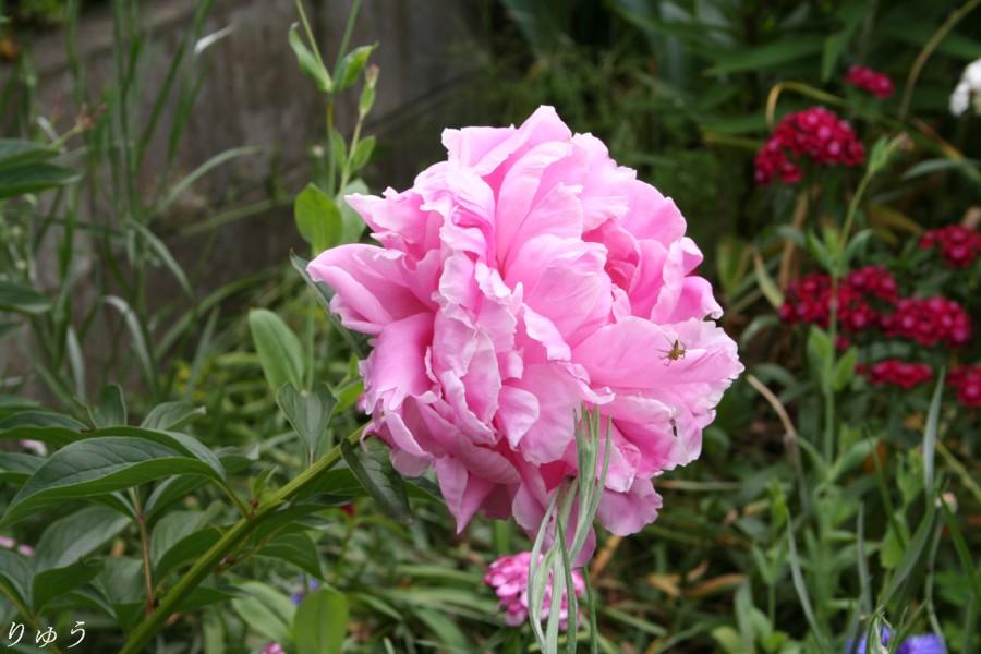 芍薬の花♪
