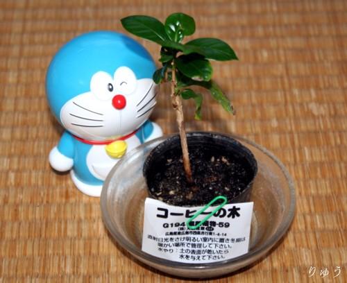 コーヒーの木01