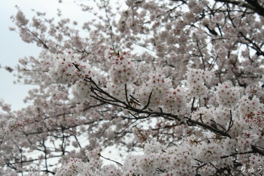 上野公園の桜02