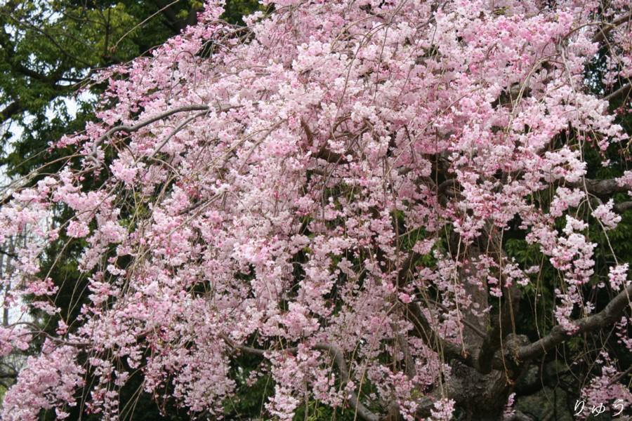 上野公園の桜05