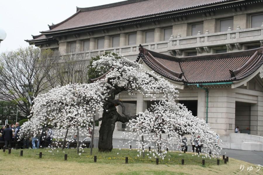東京国立博物館の桜01