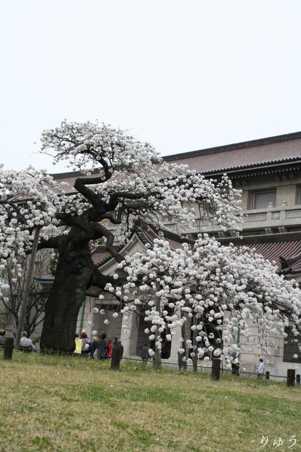 東京国立博物館の桜02